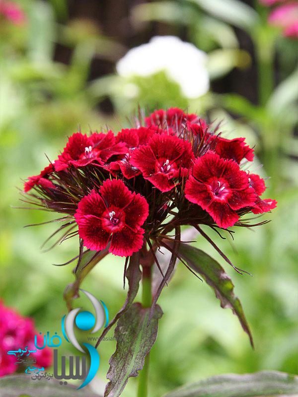 تصاویر زیبای گل