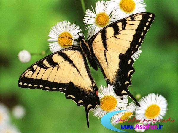عکس پروانه زیبا