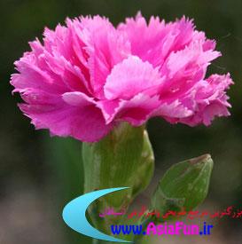 تصاویر زیبای گل های داوودی