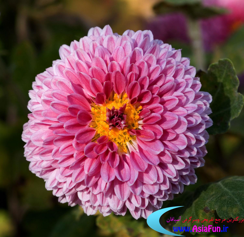 تصاویر زیبای گل داوودی
