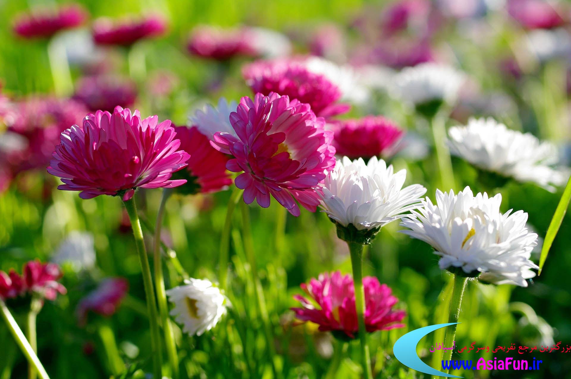 تصاویر زیبای گل داودی