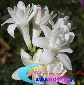 عکس های زیبا از گل مریم