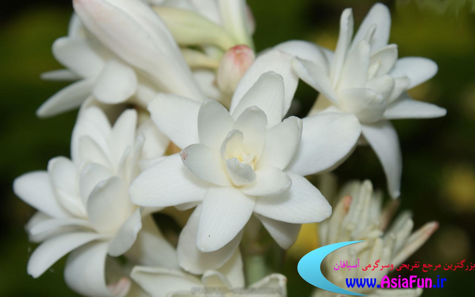 عکس گل مریم