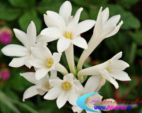 عکس زیبا از گل مریم