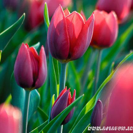 تصاویر بسیار زیبا از گل لاله