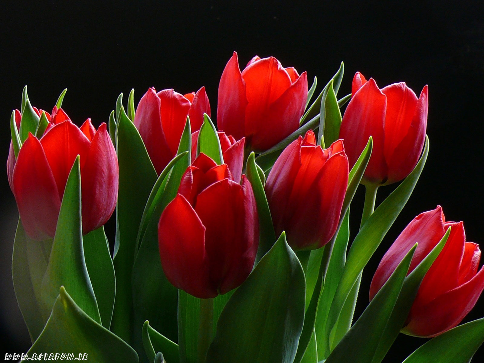 عکس گل لاله