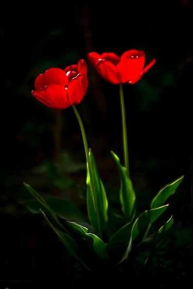 عکس گل لاله بسیار زیبا